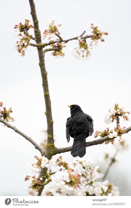 Frühlingsgefühle Baum Blüte Kirschbaum Garten Tier Wildtier Vogel 1 Frühlingstag sitzen braun grau schwarz weiß Amsel Kirschblüten Gezwitscher Farbfoto