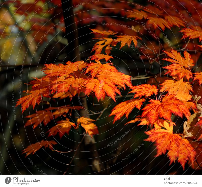 Saisongemüse Gartenarbeit Landwirtschaft Forstwirtschaft Natur Pflanze Baum Blatt Park Wald schön Spitze orange rot schwarz Ahornzweig Spitzahorn Farbfoto