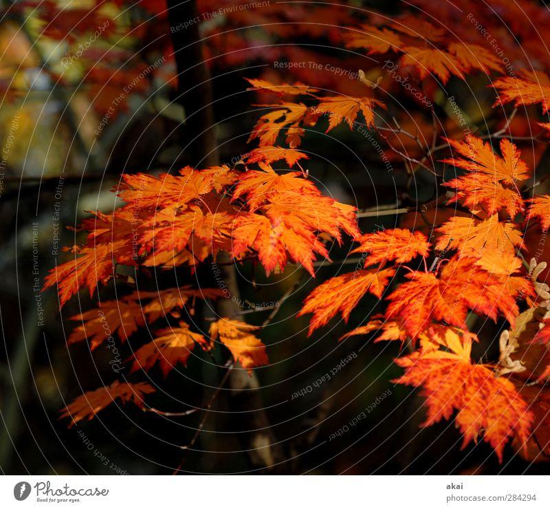 Spitzahornblätter Gartenarbeit Landwirtschaft Forstwirtschaft Natur Pflanze Baum Blatt Park Wald schön Spitze orange rot schwarz Ahornzweig Farbfoto