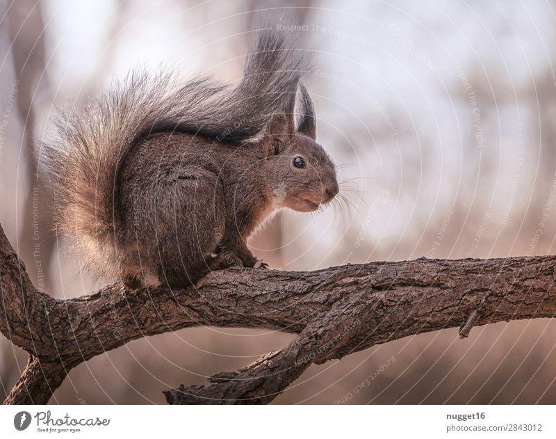 Eichhörnchen Umwelt Natur Tier Sonnenaufgang Sonnenuntergang Sonnenlicht Frühling Sommer Herbst Winter Schönes Wetter Baum Garten Park Wald Wildtier Tiergesicht