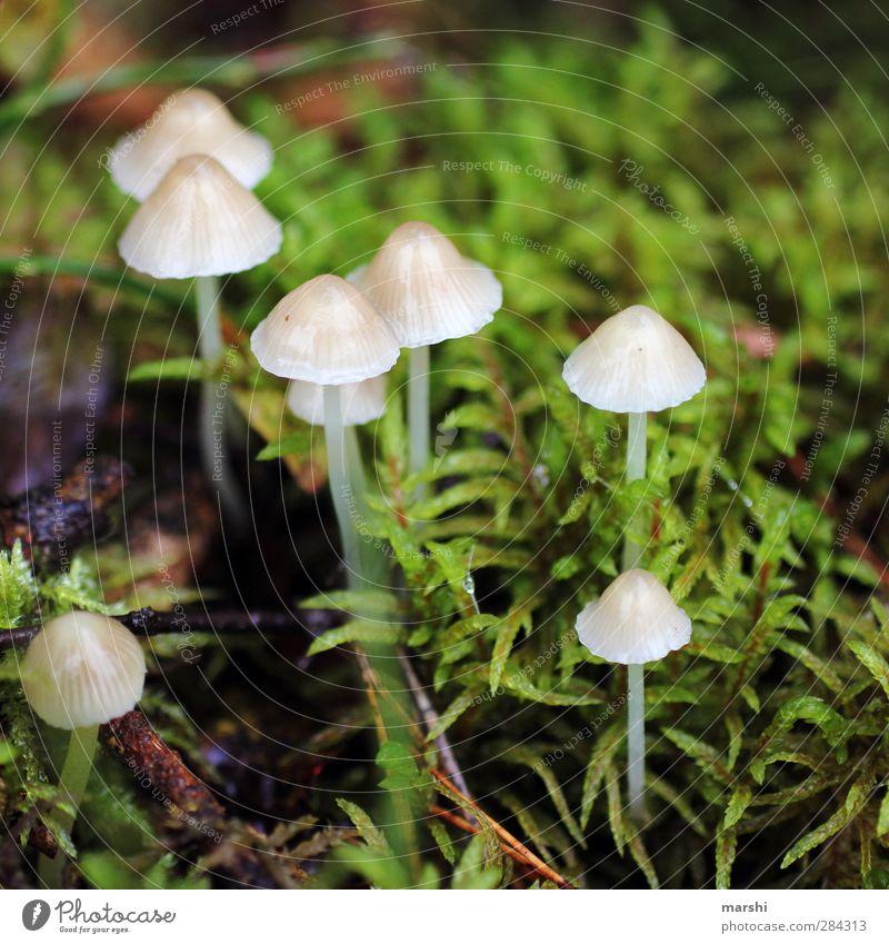 Mini-Schwammerl Natur Pflanze Wald Herbst klein Wetter Pilz Moos