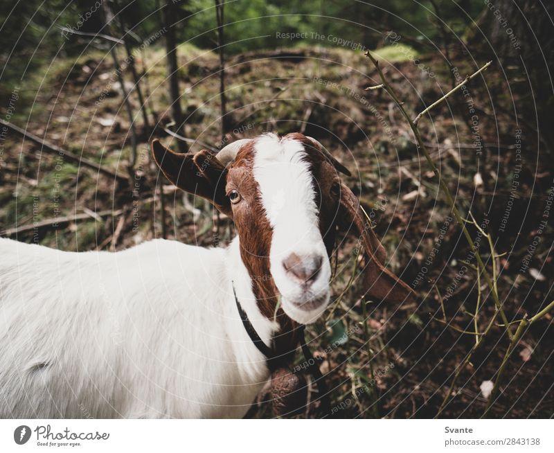 Ziege schaut in die Kamera Natur Tier Haustier Nutztier 1 Tierliebe Ziegen lustig Farbfoto Außenaufnahme Menschenleer Textfreiraum oben Tag Blick