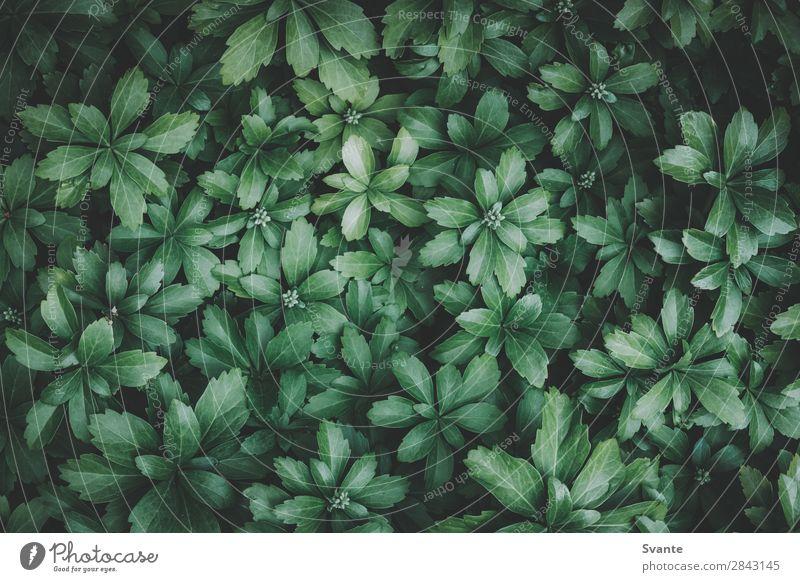Draufsicht auf grüne Blätter Natur Pflanze Blatt Grünpflanze Wildpflanze Garten ästhetisch Hintergrundbild Hintergrund neutral Farbfoto Textfreiraum links