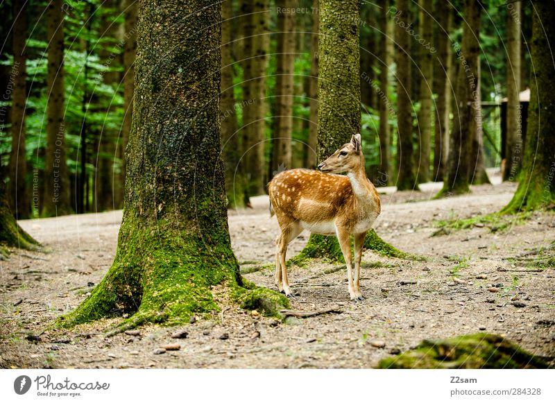 steht ein reh im walde... Natur grün Sommer Baum Einsamkeit Tier ruhig Landschaft Wald Umwelt Tierjunges natürlich Wildtier wild authentisch elegant