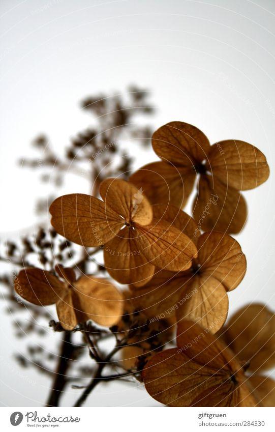 bessere zeiten Pflanze Blume verblüht welk Vergänglichkeit vertrocknet Herbst herbstlich Trockenblume Blütenblatt alt Zeit Vergangenheit vergangen Tod trocken