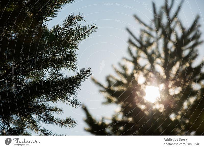 Tannenbaum im Gegenlicht Baum Wald Natur Kiefer Landschaft Park Umwelt natürlich Fichte schön grün Himmel blau Immergrün Sonnenstrahlen Holz Wetter Sonnenlicht