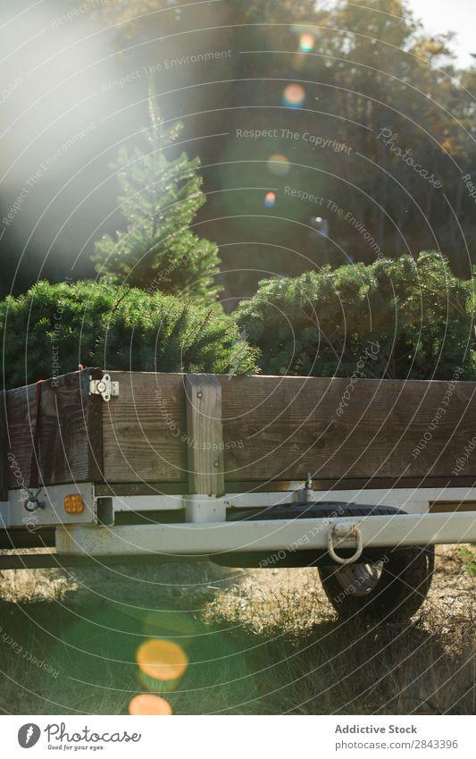 Anhänger mit Tannenbäumen Baum Wald PKW Natur Kiefer Park Umwelt Weihnachten & Advent Vorbereitung natürlich Fichte schön grün Immergrün Sonnenstrahlen Holz