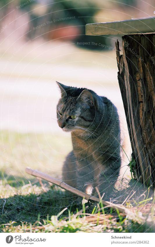 Mietz Katze Natur Tier Umwelt Wiese Gras Garten beobachten Neugier Haustier füttern Grünpflanze Schnurren Baumstumpf