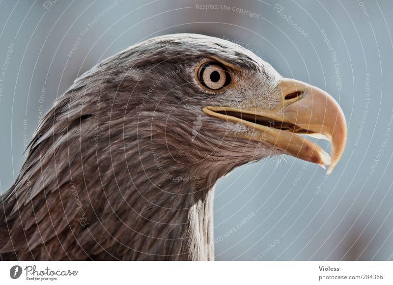 Adlerauge Kopf Vogel natürlich Kraft wild beobachten fantastisch Tatkraft