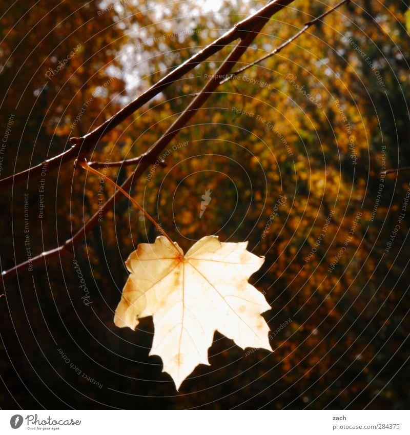 Mit letzter Kraft Herbst Pflanze Blatt Laubbaum Ast Zweig Wald Holz verblüht braun Traurigkeit Verfall Vergänglichkeit Ahorn Ahornblatt Gedeckte Farben
