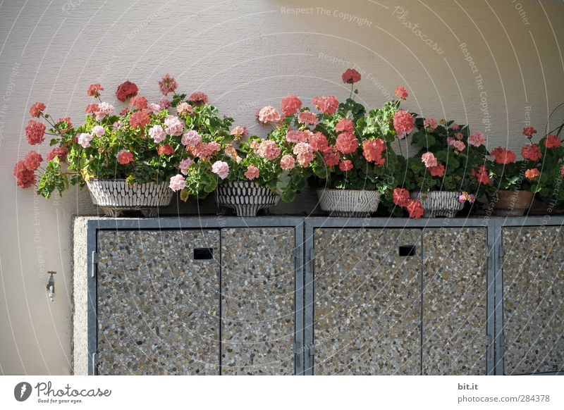 Ger.anien aus Bit.anien Pflanze Blume rot Wand Blüte Mauer grau Zufriedenheit Wachstum Dekoration & Verzierung Blühend Beton Autotür Kitsch Müll Behälter u. Gefäße