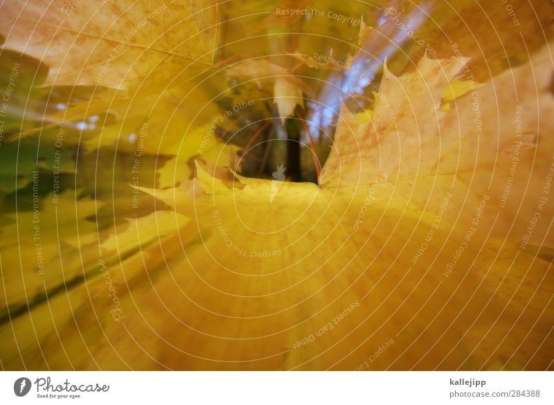 kalenderblätter Umwelt Natur Pflanze Herbst Baum Blatt Garten Park Wald gelb Jahreszeiten Herbstlaub Farbfoto Außenaufnahme Licht Schatten Kontrast