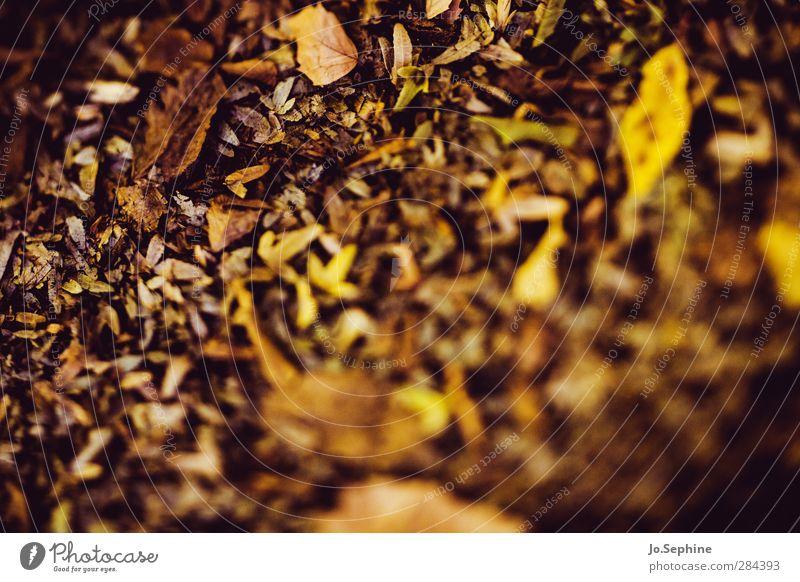 leaves Natur Pflanze Herbst Blatt Herbstlaub braun gelb gold Vergänglichkeit Wandel & Veränderung herbstlich welk Jahreszeiten verblüht Verlauf Färbung