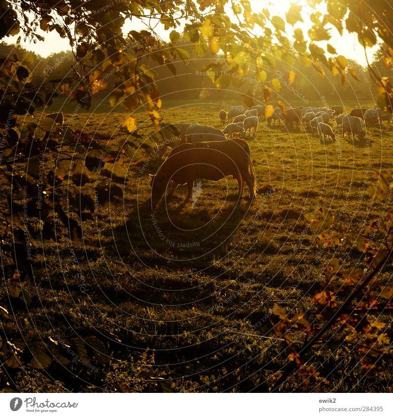 Speiseraum Umwelt Natur Landschaft Pflanze Tier Horizont Herbst Klima Wetter Schönes Wetter Baum Gras Blatt Zweige u. Äste Wiese Nutztier Kuh Tiergruppe Herde