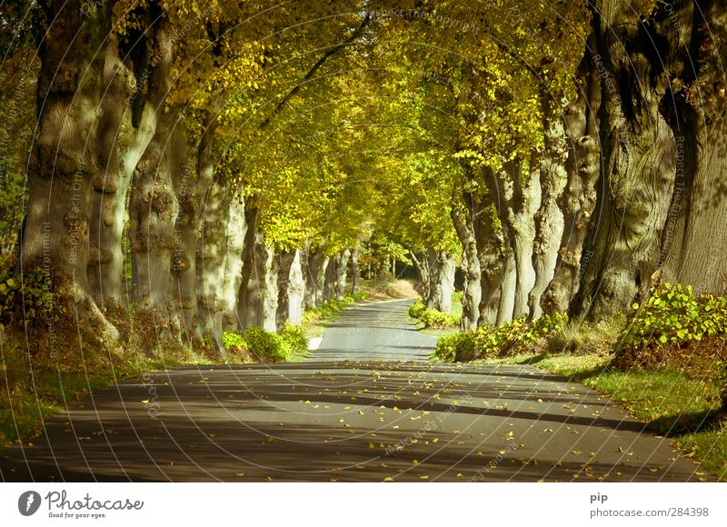 allee des jahres 2012 Umwelt Natur Pflanze Herbst Schönes Wetter Baum Baumstamm Linde Baumkrone Blatt Allee Straße Landstraße schön ruhig Wege & Pfade Densow