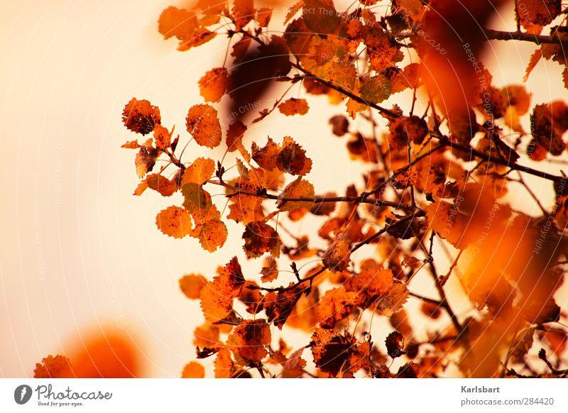 Herbstflimmern. Natur Baum rot Farbe Blatt Erholung Wald Bewegung Freiheit Garten Gesundheit Park glänzend Ausflug Wandel & Veränderung