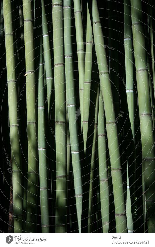 Bambus Natur Pflanze Nutzpflanze exotisch stark grün Stengel Bambusrohr elastisch Stabilität Bambuswald Urwald Asien Farbfoto Gedeckte Farben Außenaufnahme