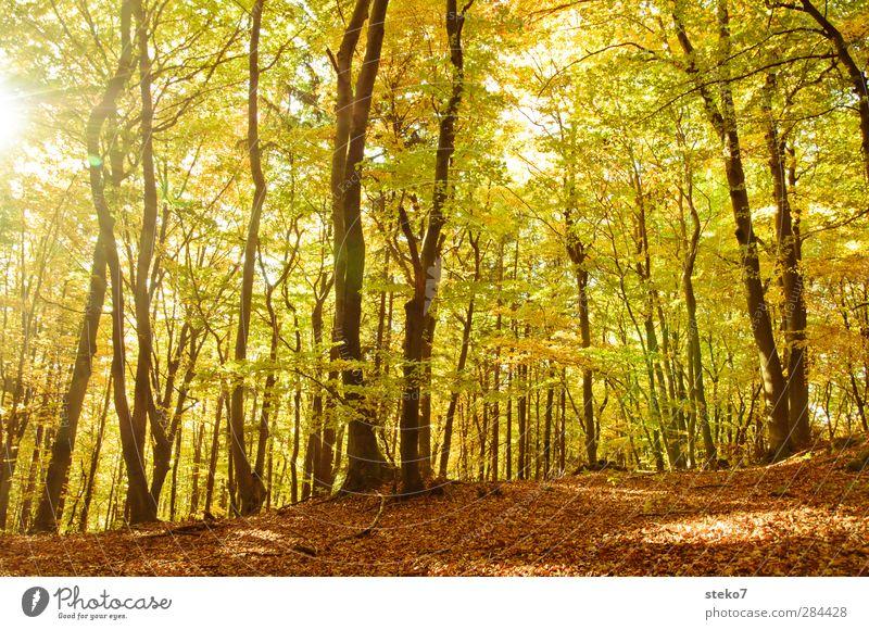 Blattwechsel Herbst Baum Wald hell Wärme braun gelb gold Natur Wandel & Veränderung Buchenwald Laubwald Blätterdach Farbfoto Außenaufnahme Menschenleer Tag