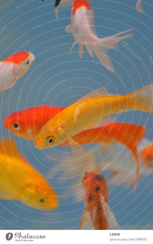 There art plenty fish in the *tank* Tier Haustier Fisch Schuppen Aquarium Tiergruppe gelb orange Goldfisch weiß Getümmel Flosse voll gedrängt Schwimmen & Baden