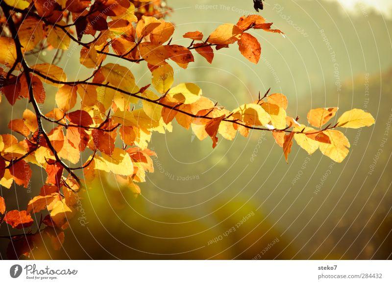 Herbstblick Natur Baum Blatt braun gelb gold Vergänglichkeit Wandel & Veränderung Buche Zweig Farbfoto Außenaufnahme Menschenleer Textfreiraum unten Freisteller