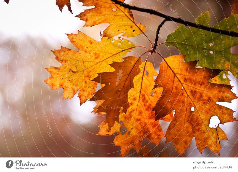 Eichenfarben Umwelt Natur Pflanze Baum Blatt Herbstlaub herbstlich Herbstfärbung Ast Zweig alt schön mehrfarbig Wald Jahreszeiten Vergänglichkeit Farbfoto