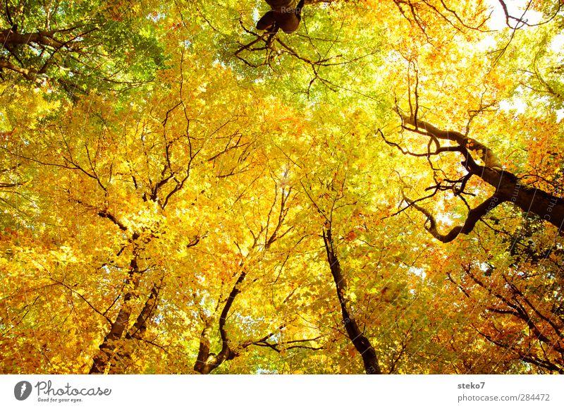 Herbsthimmel Natur Buchenwald Wald hoch oben Wärme gelb gold grün Erholung Vergänglichkeit Wandel & Veränderung Blatt Blätterdach Farbfoto Außenaufnahme