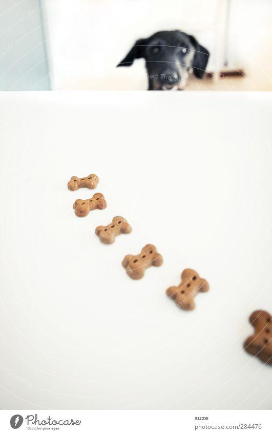 Vorfreude bei Herrn Minkowsky Hund weiß Freude Tier schwarz lustig außergewöhnlich Fröhlichkeit Tisch niedlich Kreativität Idee Appetit & Hunger Haustier