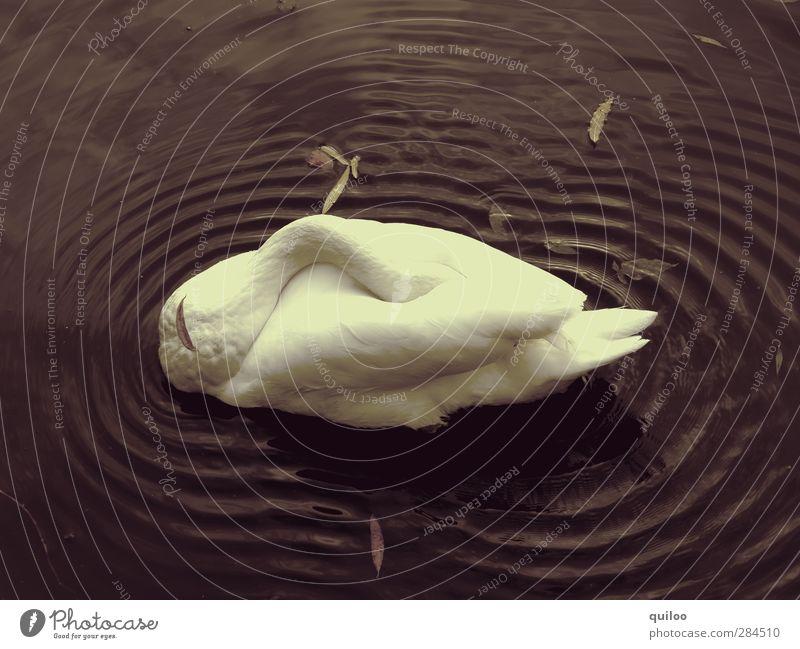 Moorschwan Wasser weiß Einsamkeit Tier ruhig schwarz Erholung dunkel träumen braun Schwimmen & Baden schlafen trist Schutz Müdigkeit verstecken