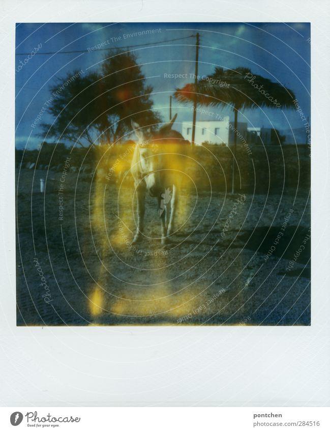 Esel mit Geschirr steht auf einer Wiese mit einem Sonnenschirm aus Stroh. Straße Wege & Pfade Tier Nutztier 1 stehen Haus Baum Tierschutz schimpfen Farbfoto