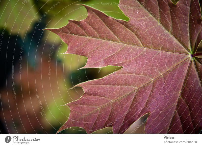 canadian autumn Natur Pflanze Blatt Wald natürlich Stimmung Herbstlaub herbstlich Ahornblatt Strukturen & Formen Farbfoto Außenaufnahme Makroaufnahme