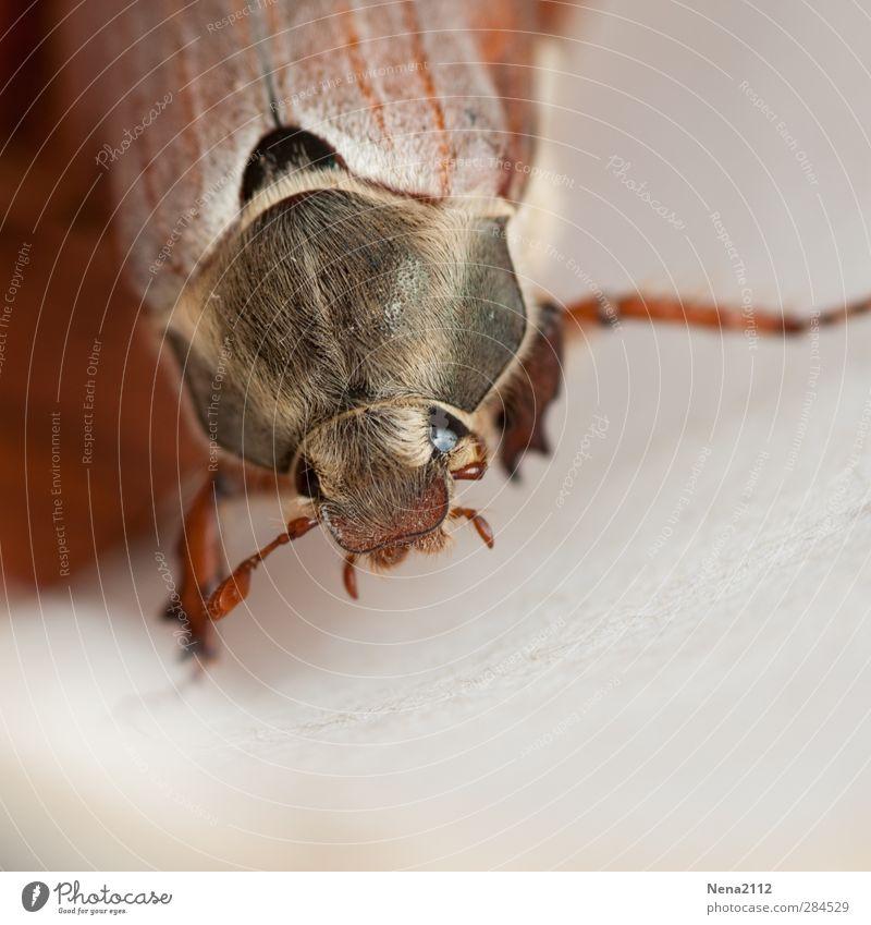 zum streicheln... Natur Tier Frühling Sommer Herbst Käfer Tiergesicht 1 braun Behaarung Insekt insektenauge Maikäfer Farbfoto Außenaufnahme Nahaufnahme
