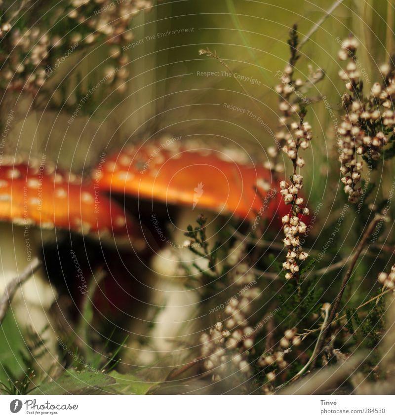 Fliegenpilze hinter Erica Natur grün schön weiß Pflanze rot schwarz Wald Umwelt Herbst Perspektive Pilz Gift Wildpflanze Unterholz Märchenwald