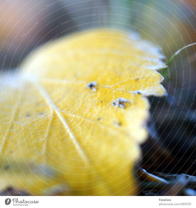 Jetzt flute ich euch mit Herbst! Umwelt Natur Pflanze Blatt hell natürlich gelb Birkenblätter Blattadern Farbfoto mehrfarbig Außenaufnahme Nahaufnahme