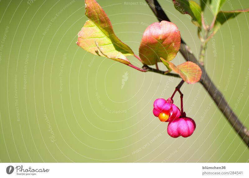 Zu Risiken und Nebenwirkungen ... Natur Pflanze Herbst Schönes Wetter Sträucher Blatt Blüte Wildpflanze Pfaffenhütchen Garten Blühend leuchten Wachstum frisch