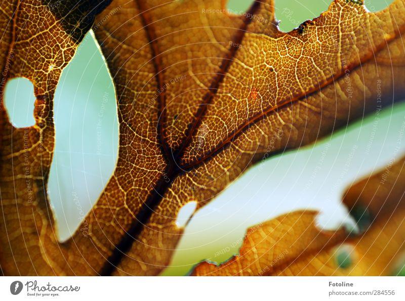 Los gehts: HERBST Umwelt Natur Pflanze Herbst Blatt nah natürlich braun Blattadern herbstlich Loch Farbfoto mehrfarbig Außenaufnahme Nahaufnahme Detailaufnahme