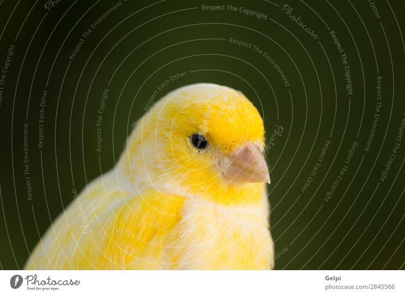 Schöner gelber Kanarienvogel exotisch Natur Tier Haustier Vogel wild weiß Farbe Schnabel Sitzgelegenheit heimisch Flügel Schuss Feder Gefangenschaft Auge Fink