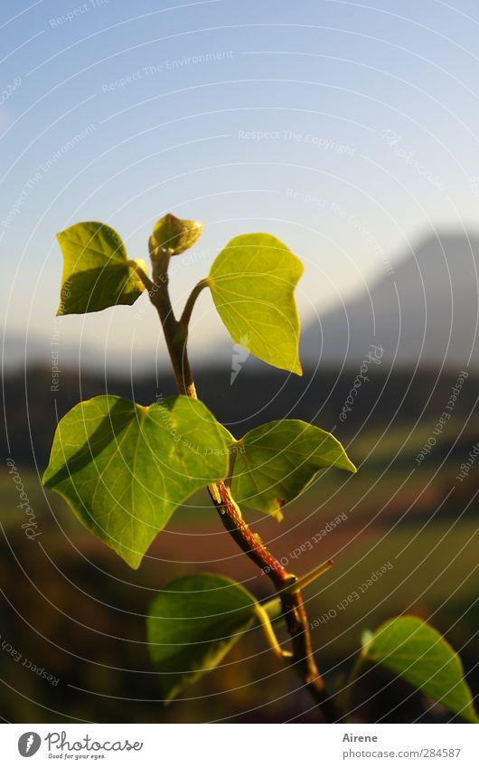 in des Abendlichts Beglückung Umwelt Natur Pflanze Himmel Herbst Schönes Wetter Efeu Blatt Grünpflanze Park Berge u. Gebirge leuchten Wachstum blau grün