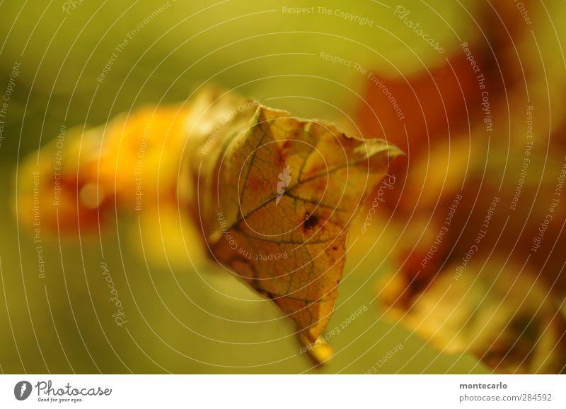 A Herbstblattl Pflanze Baum Blatt Grünpflanze Wildpflanze dünn authentisch einfach nah trocken gelb gold Vergänglichkeit Farbfoto mehrfarbig Außenaufnahme