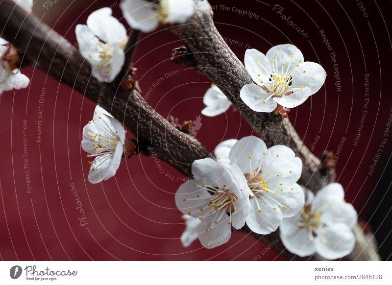 Zweige mit Pfirsichblüten weiß rot Baum ruhig gelb Blüte Frühling braun Blühend Ast weich Wellness zart zierlich