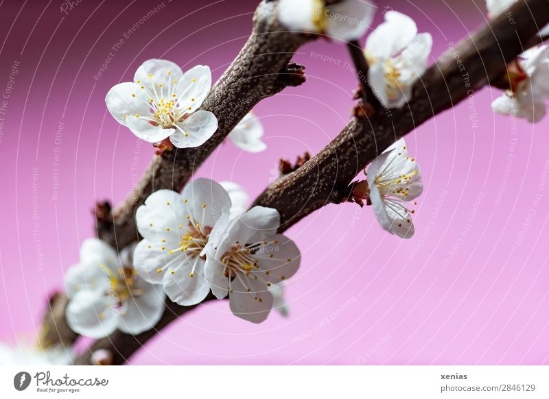 Pfirsichblüten am Zweig Pflanze Frühling Baum Blüte Rosaceae Obstbaum Ast Blühend braun rosa weiß Romantik Wellness zart Frühlingsgefühle Farbfoto