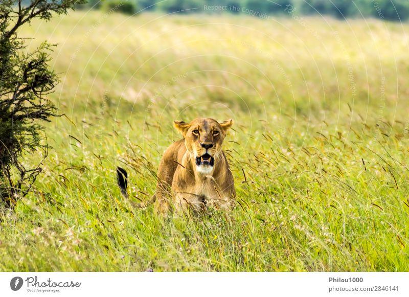 Löwin in der Savanne sitzend Gesicht Ferien & Urlaub & Reisen Frau Erwachsene Natur Tier Park Katze natürlich wild gelb gefährlich Nairobi Afrika Afrikanisch