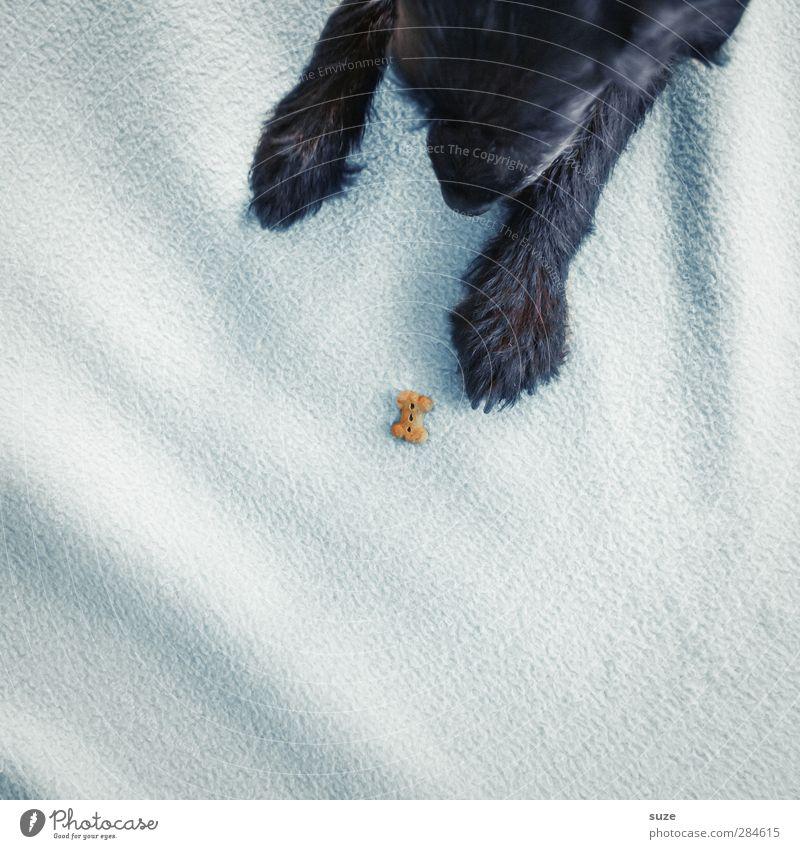 Auch ein kleiner Knochen findet mal nen Hund ... Hund weiß Tier schwarz klein lustig niedlich Appetit & Hunger Haustier tierisch Pfote Decke kuschlig Futter Skelett Terrier