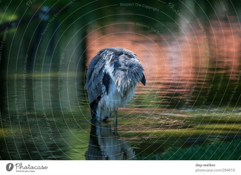 Mal etwas abhängen Wasser grün Sommer rot Tier Vogel Wellen Wildtier Feder Schönes Wetter schlafen Zoo Graureiher