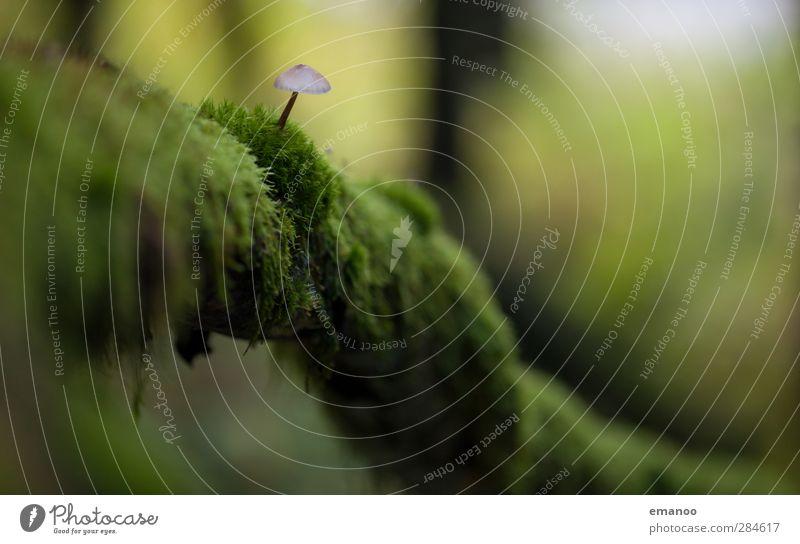 mushroom Umwelt Natur Landschaft Pflanze Herbst Moos Wald Urwald leuchten Wachstum dünn klein nass natürlich weich Einsamkeit Pilz Pilzhut Pilzsucher