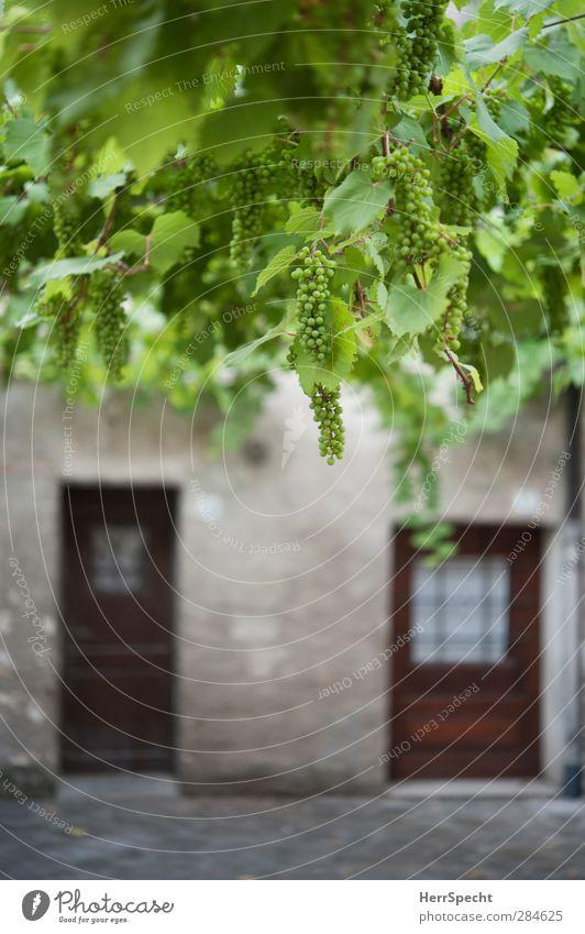 Winzer-Wohnung Pflanze Blatt Grünpflanze Nutzpflanze Dorf Haus Fassade Fenster Stein Holz grün Eingangstür Weintrauben Loggia hängen Italien Idylle südländisch
