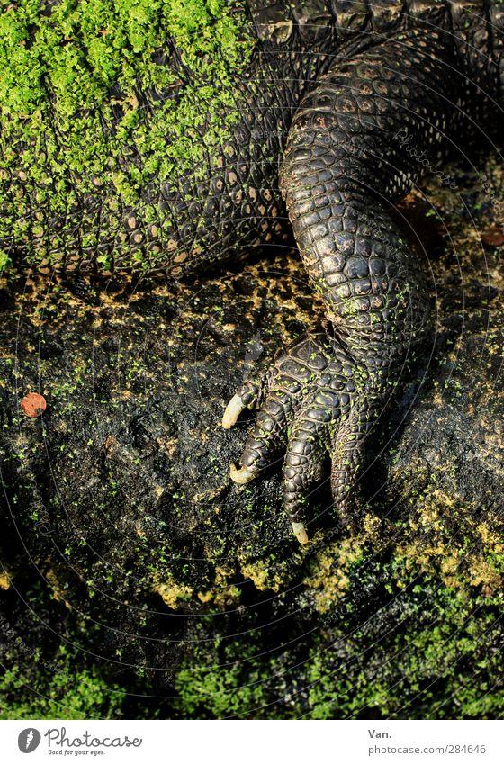 Maniküre Moos Tier Wildtier Schuppen Krallen Alligator Reptil Beine Krokodil 1 Stein braun grün Farbfoto mehrfarbig Außenaufnahme Detailaufnahme Menschenleer