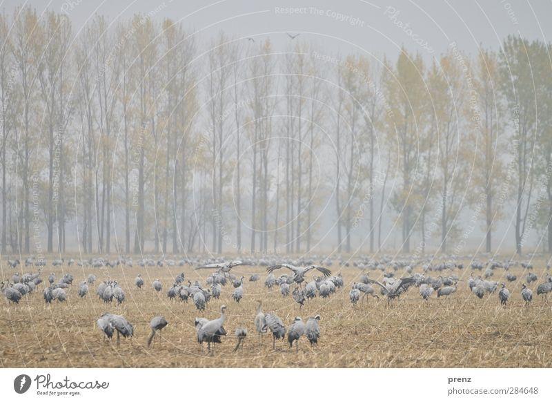 Kranichfeld Natur blau Tier Landschaft Umwelt grau Vogel braun Feld Wildtier Nebel Tiergruppe viele Fressen flattern