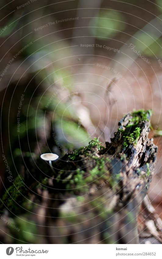 Klein und allein Natur grün Pflanze Baum Wald Umwelt Herbst klein braun Wachstum einzeln Pilz Moos bewachsen Baumstumpf