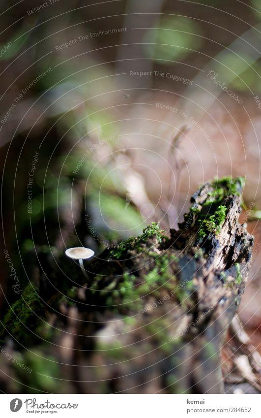 Klein und allein Umwelt Natur Pflanze Herbst Baum Moos Pilz Wald Wachstum klein braun grün einzeln bewachsen Baumstumpf Farbfoto Gedeckte Farben Außenaufnahme