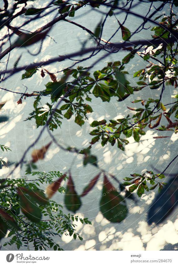 [B]lätterwerk Umwelt Natur Pflanze Baum Grünpflanze Blätterdach Blatt Ast Mauer Wand natürlich grün Lichtspiel Farbfoto Menschenleer Tag Schatten